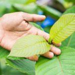 Kratom Leaves Benefit